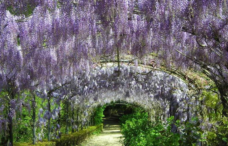 glicini giardino Bardini Firenze maggio2014