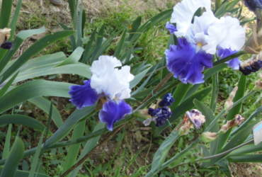 Iris, Firenze, Giardino dell'iris