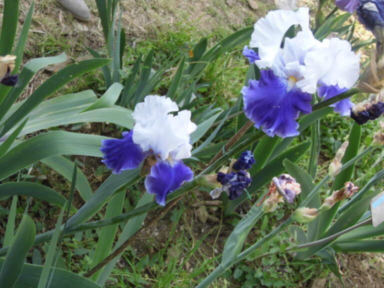 The Florentine Iris: history of a symbol